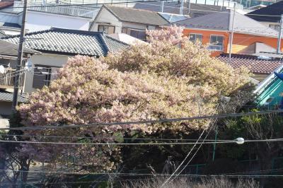 横浜では河津桜が散り際です-2020年