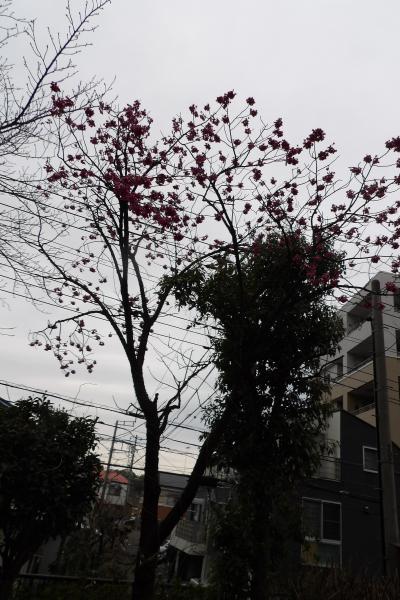 寒緋桜のある公園-2020年