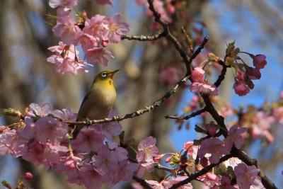 例年より半月ほど早く満開となった河津桜を見に林試の森公園に行って来ました。2020年2月