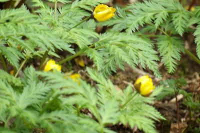 黄花イチゲ(キバナイチゲ)