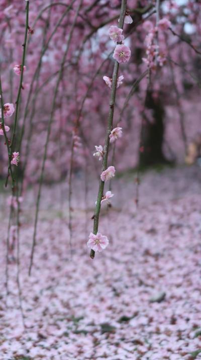 2020年3月 しだれ梅の宴演♪「鈴鹿の森庭園」で春を感じる休日♪