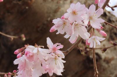 3月7日の冬桜