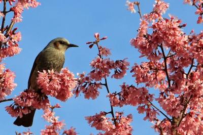 寿福寺の満開のオカメ桜2020年3月