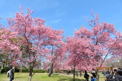 大阪にも河津桜が・・ほんの少しだけど。