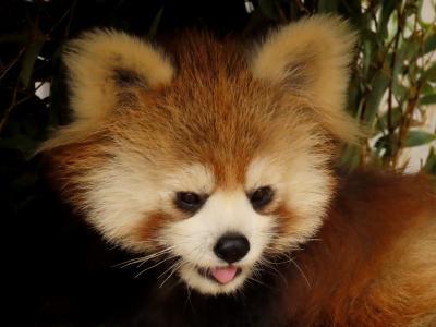 姫路セントラルパーク&姫路市立動物園 成長しても超キュートなテマリちゃん@姫セン 今年は期待していい?ひなた君&ミホちゃん@姫路ズー