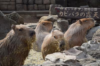 川奈温泉に行ったよ。お魚~カピバラ~リフト~つるし雛~さわやかデビューで伊豆半島北部堪能