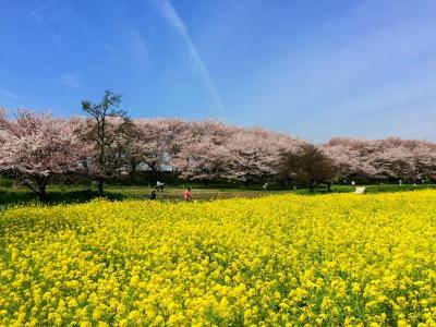 桜と菜の花のコラボ・幸手権現堂堤