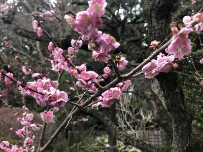 梅が満開の偕楽園:昨今の コロナに負けるな 梅の花 客少なしとて 春な忘れそ