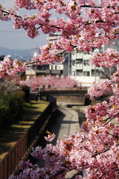 淀水路の河津桜の開花を調べてきました♪