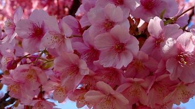 緑ヶ丘公園 桜の丘 中巻。