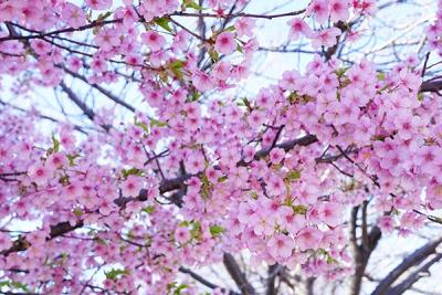 早咲きの河津桜満開のかわいい桜色にほっこり