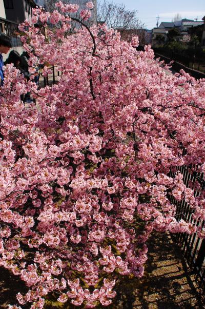 淀水路の河津桜の開花を満喫してきました♪