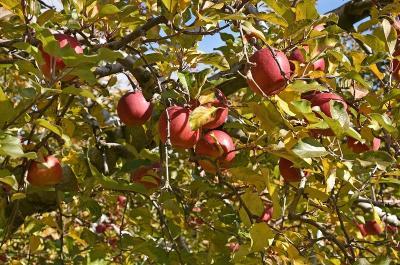 毎年恒例の秋の紅葉巡り&りんご狩り2019(2)-小諸でのりんご狩りー