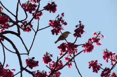 公園の寒緋桜に集まる野鳥