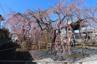 咲き始めた地蔵院の枝垂れ桜