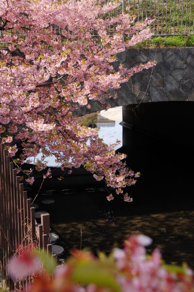 淀水路の河津桜の開花を見納めて来ました♪