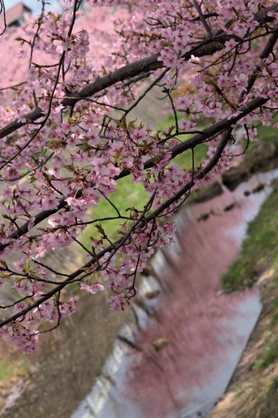 ピンクピンクの世界♪ 河津桜に癒される♪