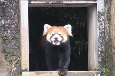 梅の花咲く雨の多摩動物公園(前編)マレーバクからシャモアまで:カナエちゃんとコアラのニシチくんぎりぎり&レッサーパンダのずんくん活動開始