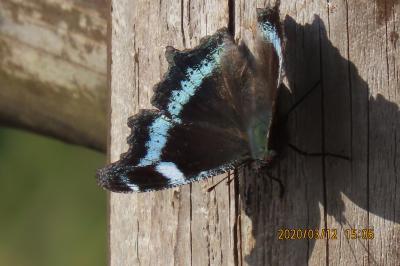 2020森のさんぽ道で見られた蝶②ムラサキシジミ、ルリタテハ