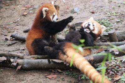 梅の花咲く雨の多摩動物公園(後編)雨ではりはりレッサーパンダ母子と新メンバーひまわりちゃん&コアラ館でねばった結果と閉園間際のカナエちゃん