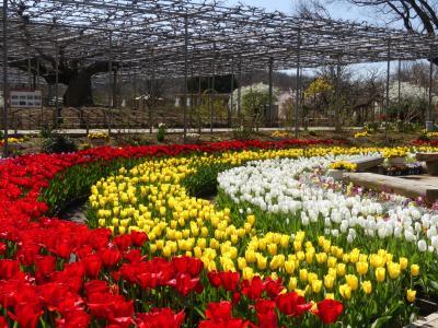 「あしかがフラワーパーク」の、春の花まつり_2020_沢山のチューリップが綺麗に咲いています。(栃木県・足利市)