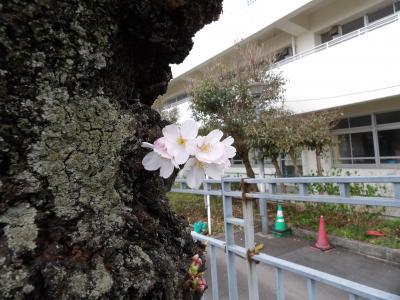 柏尾川の桜が開花しました-2020年