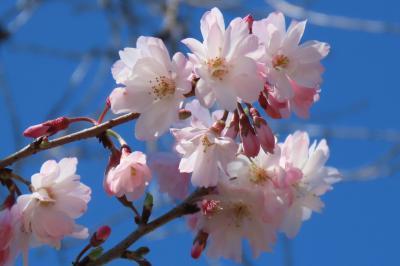 二回目の花が咲きだした冬桜