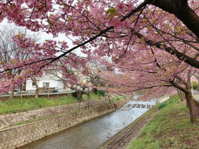 もうすぐ桜の季節!佐保川の桜の様子を見に行ってきました☺︎