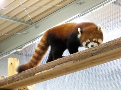 作成中 豊橋総合動植物公園のんほいパーク 先月の守守君に続き、いよいよリーファちゃんの正式公開!! 初日に会いに行ってきました
