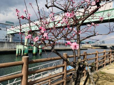 2020年 水辺の遊歩道うおざき アーモンドの花の近況報告