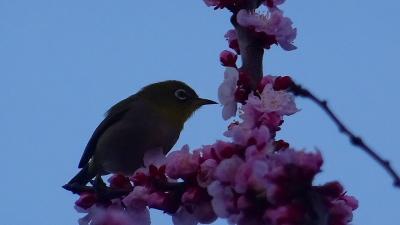 昨朝に続く早朝散歩は、ヌートリアに迎えられた鴻池第一公園 下巻。