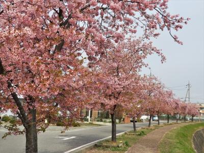 小野市に一足早く春の訪れを告げる大島川の河津桜