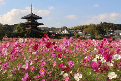 自転車で奈良を巡る旅シリーズ~法起寺の秋桜~