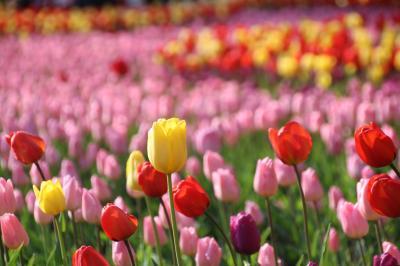 早咲きチューリップと満開の山桜が見たくて早春の森林公園へ───時々曇天だったのは残念だけど久しぶりの森林公園でのんびり森林浴