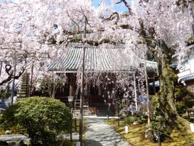 小さなお寺にある大きな垂れ桜「専称寺」 からの~二上山登山