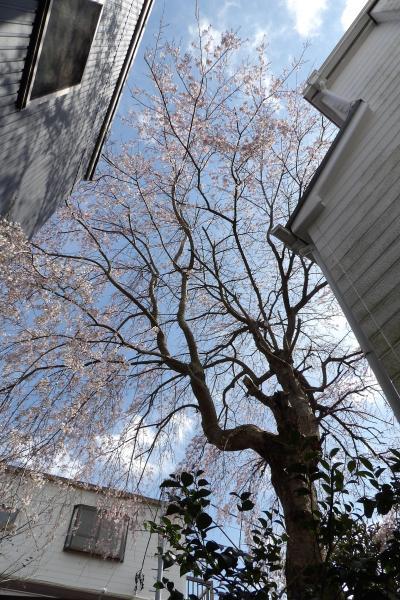 別の2本の枝垂れ桜も見頃です