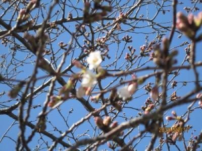 柏市の大堀川・リバーサイトパーク・桜開花・2020年3月