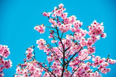 宇佐の桜さがし 2020