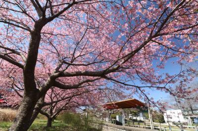 期間限定♪ 名鉄三河線廃線跡に華やかに河津桜♪