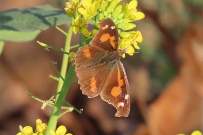 2020森のさんほ道で見られた蝶③テングチョウ、モンキチョウ