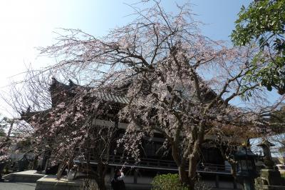鎌倉本覚寺の枝垂れ桜が見頃になりました-2020年