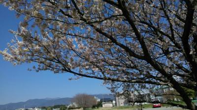 春爛漫★桜並木 お花見日和①