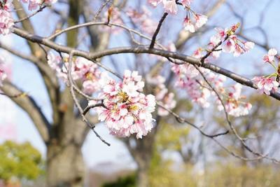 桜咲くのが待ち遠しい