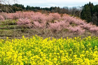 長湯温泉の大漁桜 2020