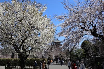 池上本門寺 桜花見&力道山銅像