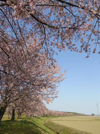 2020 桜散歩(北浅羽桜堤公園:大寒桜(安行寒桜))