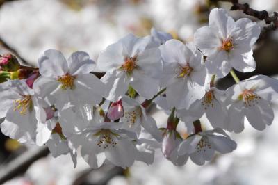 2020年 開花5日目の目黒川の桜  ついにスタバの旗艦店ロースタリー東京も臨時休業に