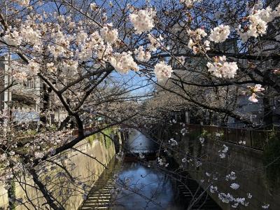 目黒川でのお花見
