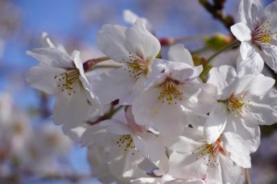 東京・砧公園の桜を観にいこう