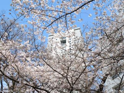 混雑を避けてお花見散歩@ソフィア通り~外濠公園~靖国神社~千鳥ヶ淵